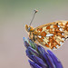 PEARL BORDERED FRITILLARY 2012  #2 by GOLDENORFE