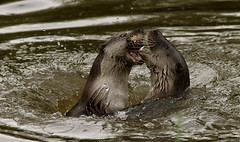 animal, seals, marine mammal, mustelidae, fauna, sea otter, harbor seal, whiskers, wildlife,