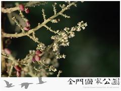 鹽膚木-04