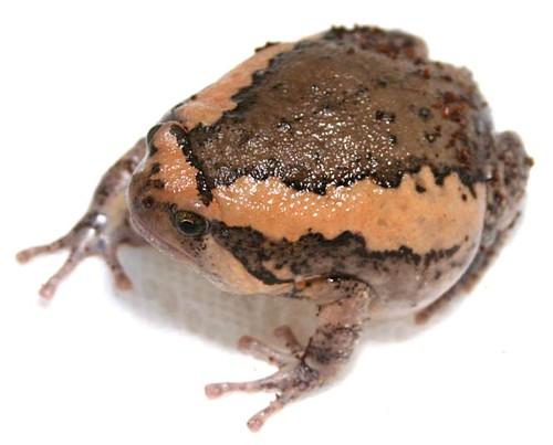 花狹口蛙。(本圖片屬公有領域,符合CC授權,圖片來源:維基百科 http://zh.wikipedia.org/wiki/File:ChubbyFrog_02.jpg,圖片作者:Alfeus Liman。)