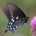 Pipevine Swallowtail by DrPhotoMoto