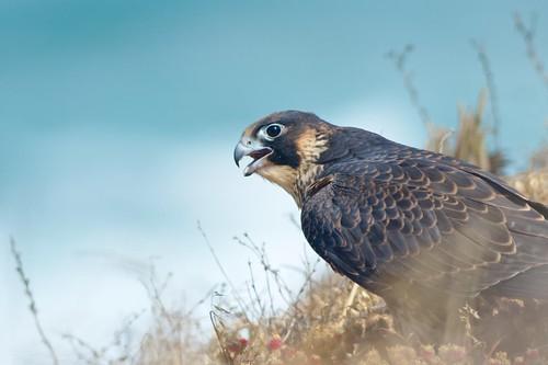 Juvenile Peregrine Falcon by Insu Nuzzi