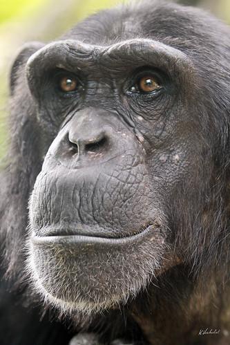 Chimpansee Vizuri