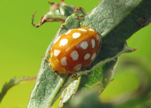 Orange Ladybird - Halyzia sedecimguttata