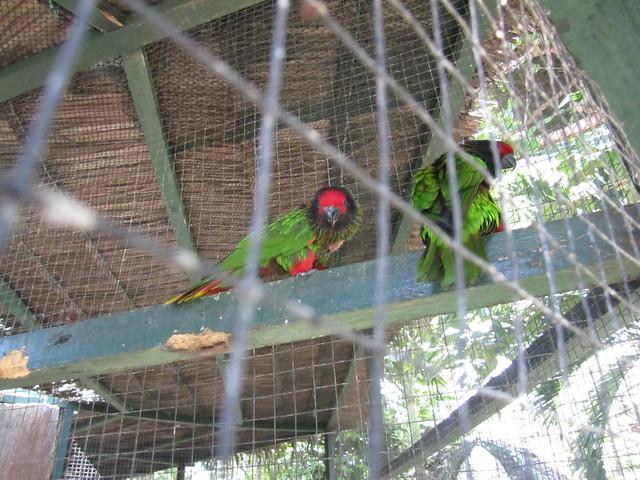 Амазонские попугаи