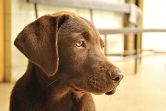 puppy(0.0), dog breed(1.0), labrador retriever(1.0), nose(1.0), animal(1.0), dog(1.0), pet(1.0), snout(1.0), mammal(1.0), close-up(1.0), chesapeake bay retriever(1.0),