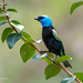 Tangara Real / Blue-necked Tanager by Andrés Ceballos V.