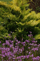 Golden Hinoki Cypress (Chamaecyparis obtusa 'Crippsii'), Obedient Plant (Physostegia virginiana 'Vivid') and