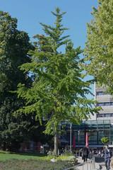Gingko, Elisengarten, Aachen