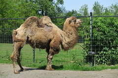 Camels drinking water (3)