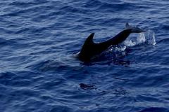 common bottlenose dolphin(0.0), short-beaked common dolphin(0.0), humpback whale(0.0), animal(1.0), marine mammal(1.0), whale(1.0), sea(1.0), ocean(1.0), marine biology(1.0), dolphin(1.0), spinner dolphin(1.0),