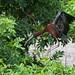 Glossy Ibis Landing by arlenekoziol