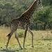464 giraffe, private game reserve near kruger national park