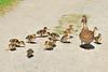 Mallard Duck and 12 Ducklings 15-MA19-1101 by digitalmarbles