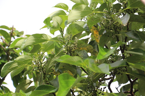 rota pipturus pipturusargenteus urticaceae
