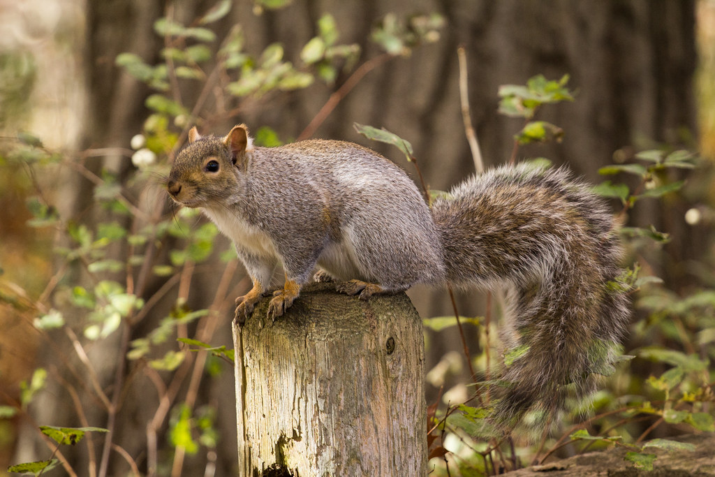 The great Canadian Squirrel!