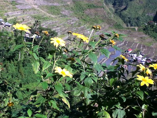 Yellow flowers, Banaue Rice Terraces