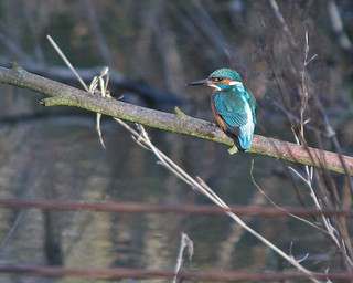 Kingfisher at Fairburn