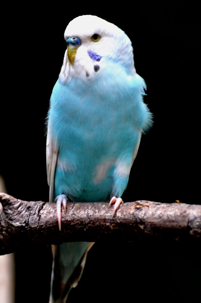 Blue Parakeet | Watch the behavior of your blue and white pa