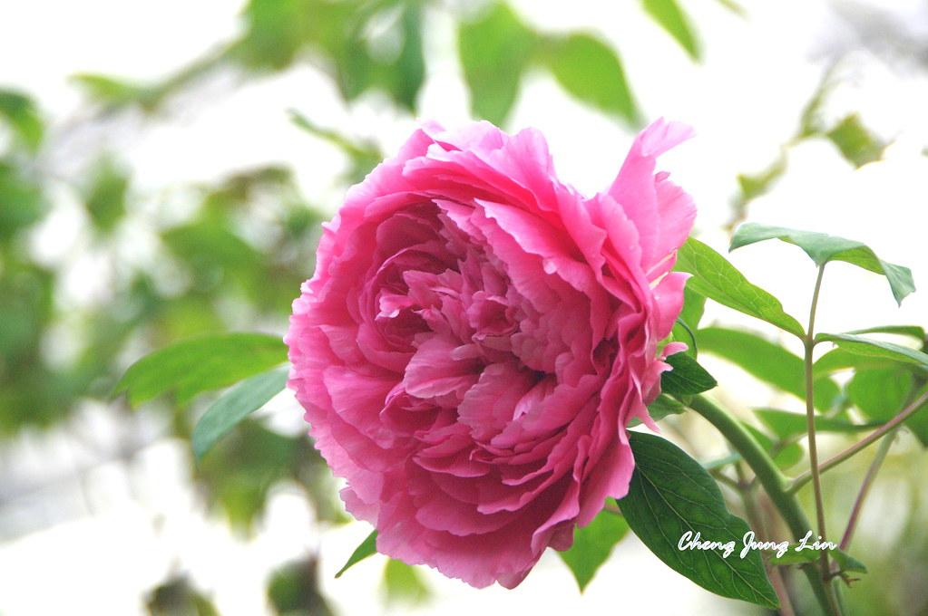 杉林溪牡丹花