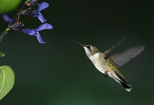 Hummingbird Flying Near Salvia_RGB4772t