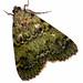 Epipaschiinae - Photo (c) lumaz1125, all rights reserved