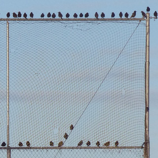 THIRTY FOUR Starlings
