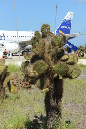 セイモア空港のサボテン