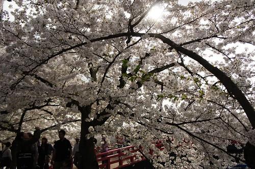 桜のトンネルの近くから