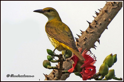 "2224 - golden oriole - ""Explored"""