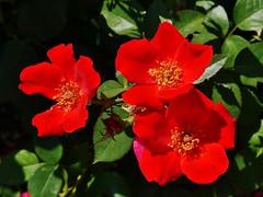 61112-183, Red Rose