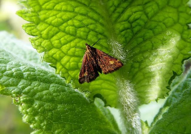 27418 - Mint Moth
