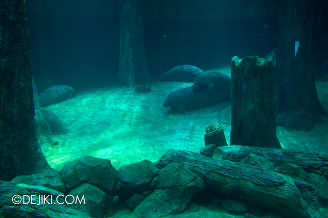 River Safari - Amazon Flooded Forest main display / Manatee and Arapaima