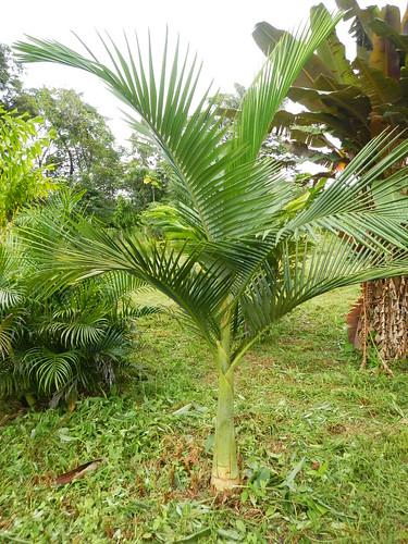 Le forum des fous de palmiers rare et moins rare mais sympa quand m me - Quand tailler un palmier ...