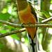 Malabar Trogon, southern India (Tim Melling)