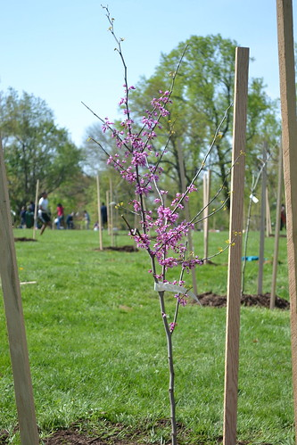 flowering redbud newly planted and staked