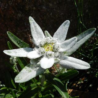 2013-06-11 Leontopodium leontopodioides - BG Teplice