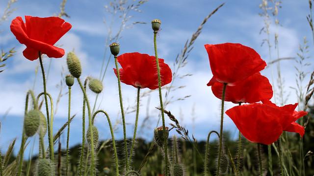 Giverny poppy field