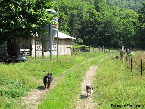 Bear and Bert trotting down the driveway - FarmgirlFare.com