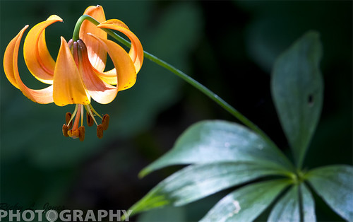 Tiger Lilies by Ricky L. Jones Photography