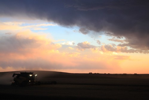 Combining at dusk.