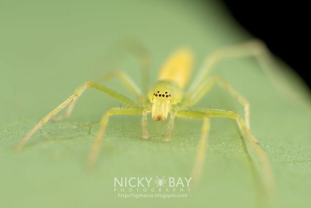 Sac Spider (Clubionidae) - DSC_0961