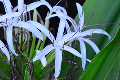 hymenocallis(0.0), grass(0.0), wheel(0.0), flower(1.0), leaf(1.0), hymenocallis littoralis(1.0), plant(1.0), flora(1.0),
