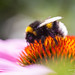 Bumblebee on Purple coneflower 'Magnus'