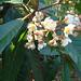 Small photo of Saurauia zahlbruckneri, the Butterscotch Bush