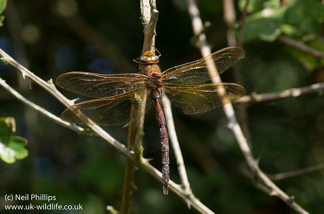 brown hawker dragonfly Aeshna grandis-2