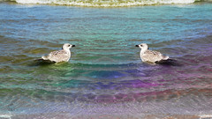 Young Twin Gulls