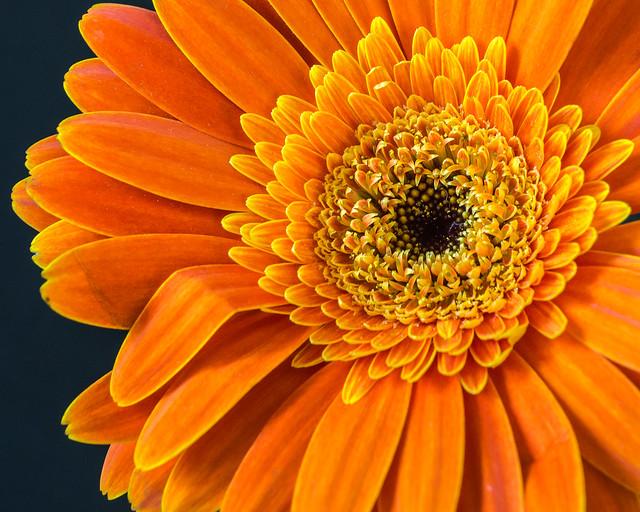Gebera Daisy, Daisy, Flower, Orange, Macro