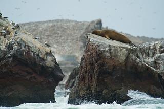 Seelöwen, Islas Ballestas - Paracas | Roland Krinner