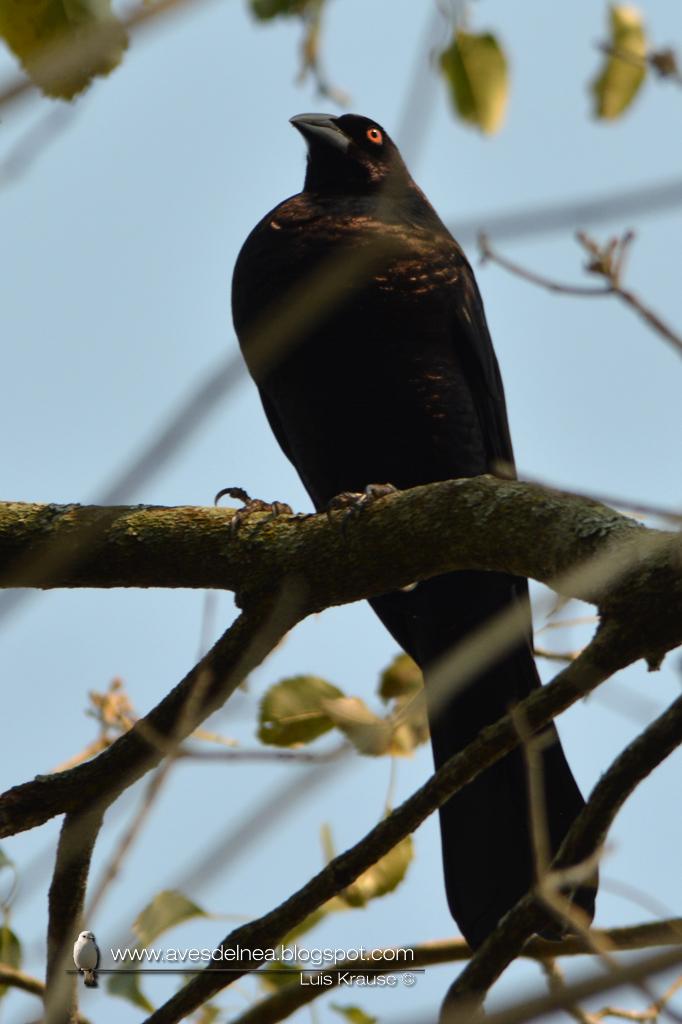 Tordo gigante (Giant-Cowbird) Molothrus oryzivorus